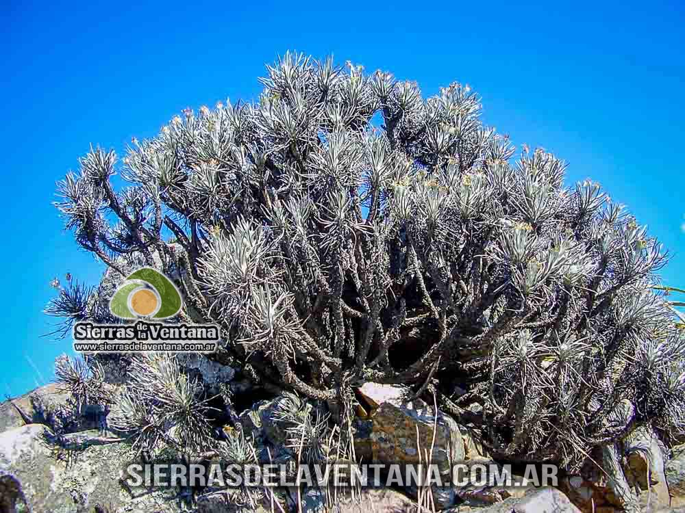 Llantén Plantago Bismarcki de Sierra de la Ventana